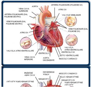 danni-cardiaci-filaria